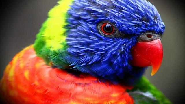 Colorful-Parrot-Face-Wallpaper